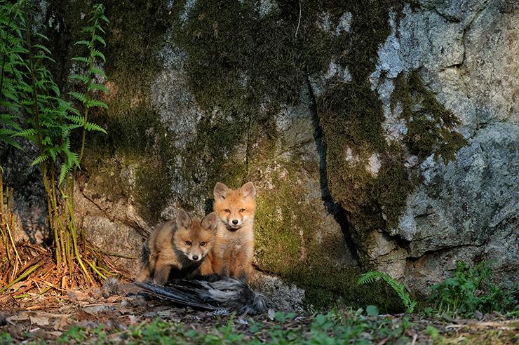 fox1_org