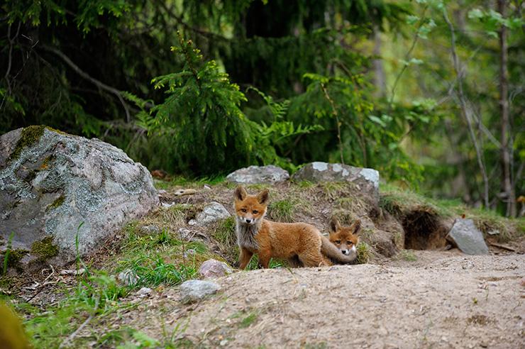 fox2_org